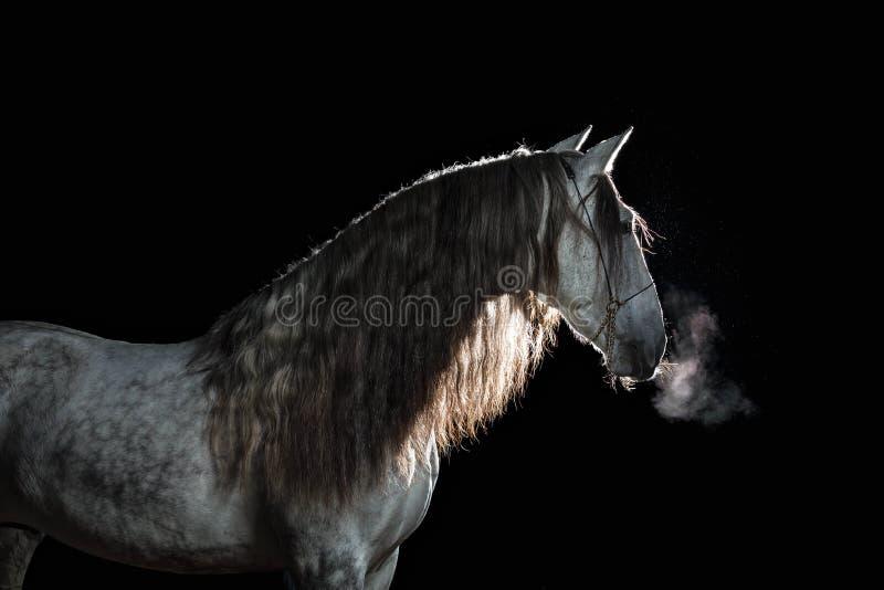 Andalusian hingst för stående med lång man och ånga från en mun på en svart bakgrund med tillbaka belysning royaltyfria bilder