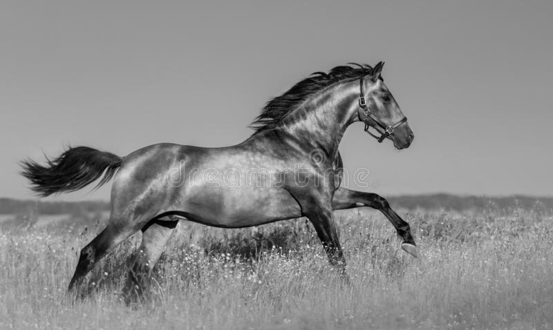 Andalusian horse in blooming field royalty free stock photography