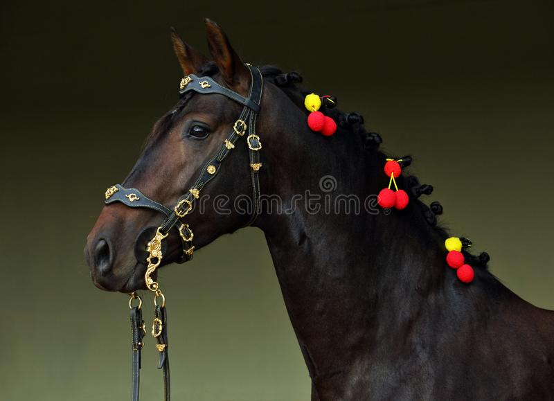 Andalusian horse in dark stable. Indoor background stock image