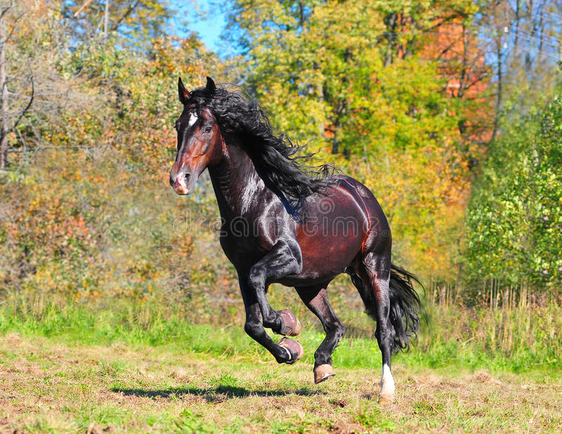 Andalusian horse galloping royalty free stock images