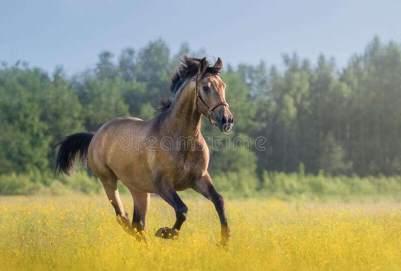 Andalusian horse galloping across blooming meadow royalty free stock photos