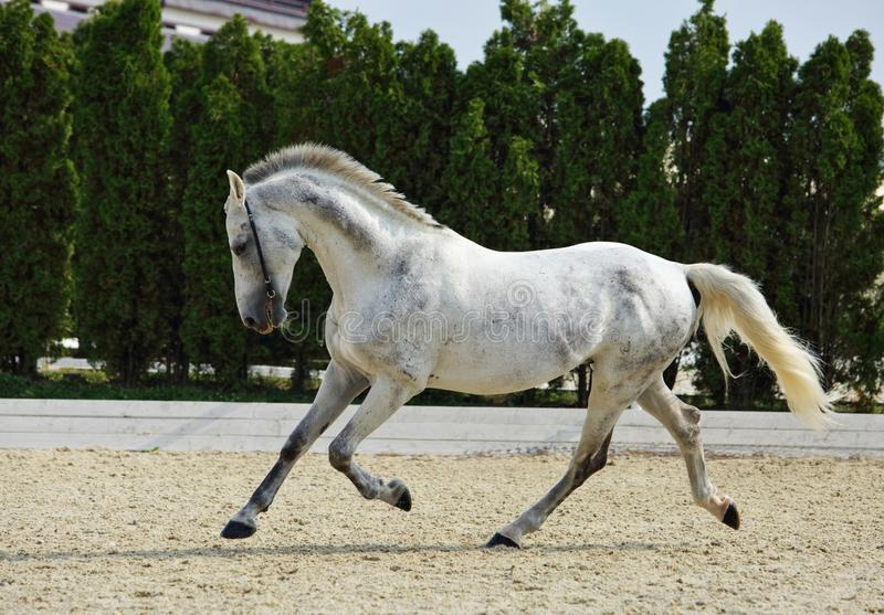 Andalusian horse galloping near the stable stock images