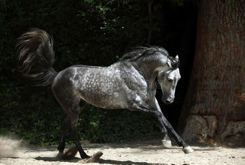 Andalusian horse galloping near the stable. At the rest royalty free stock image