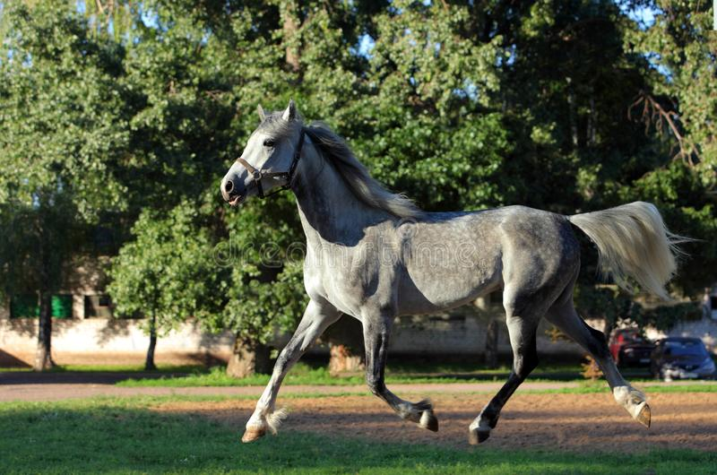 Andalusian horse galloping near the stable at the rest. Andalusian dapple grey horse galloping near the stable at the evening rest stock images