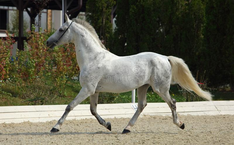 Andalusian horse galloping near the stud farm. Andalusian dapple grey horse galloping near the stud farm stock photography