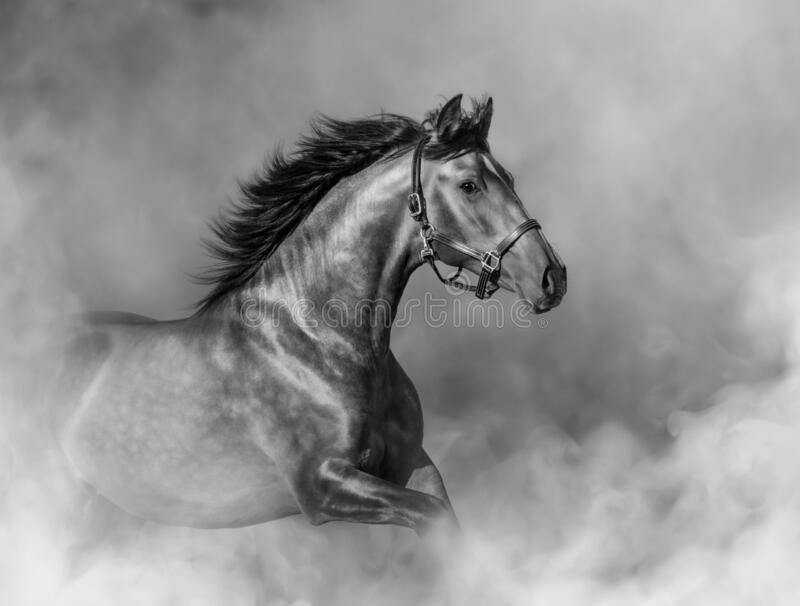Andalusian horse in halter in light smoke in motion royalty free stock photography