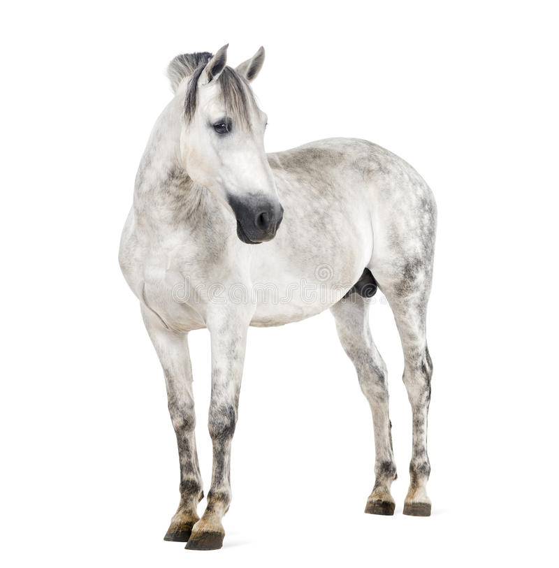 Andalusian horse stock photography