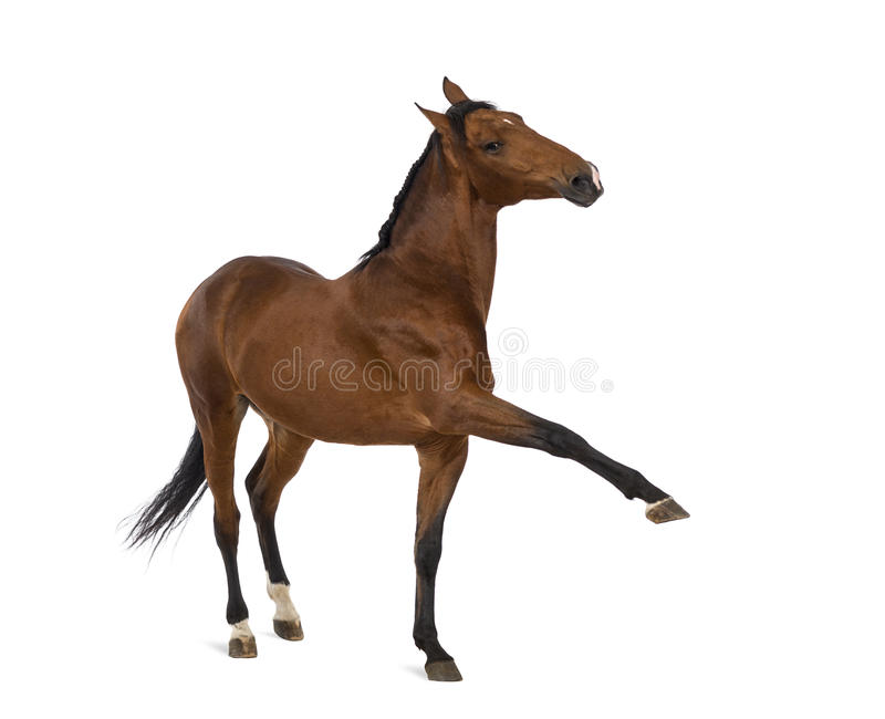 Andalusian horse with a leg up stock images