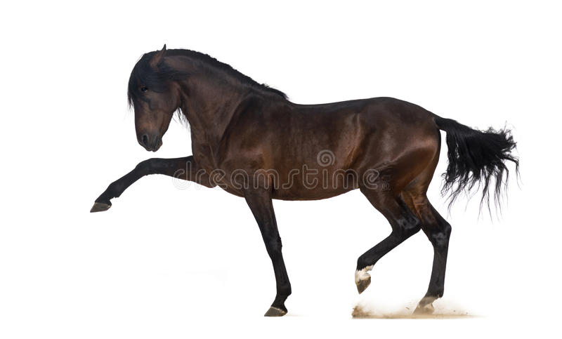 Andalusian horse performing Spanish walk stock photography