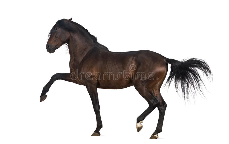 Andalusian horse performing Spanish walk stock photos