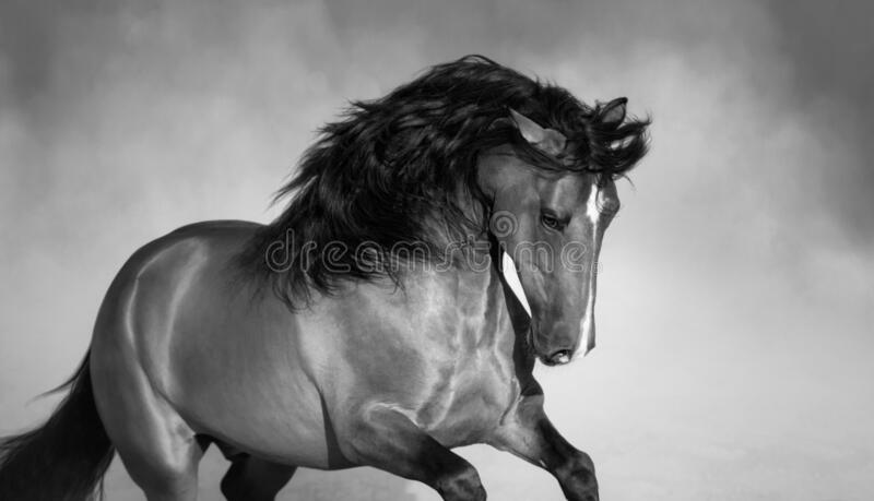 Andalusian horse playing on sand in paddock in dust. Close up photo royalty free stock photography