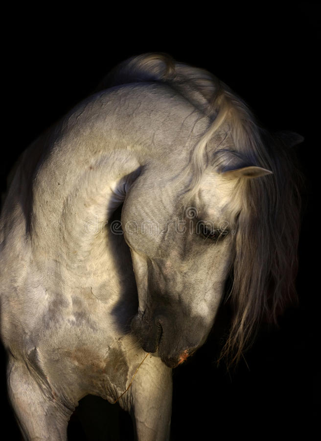 Andalusian horse portrait. On the black background stock photography