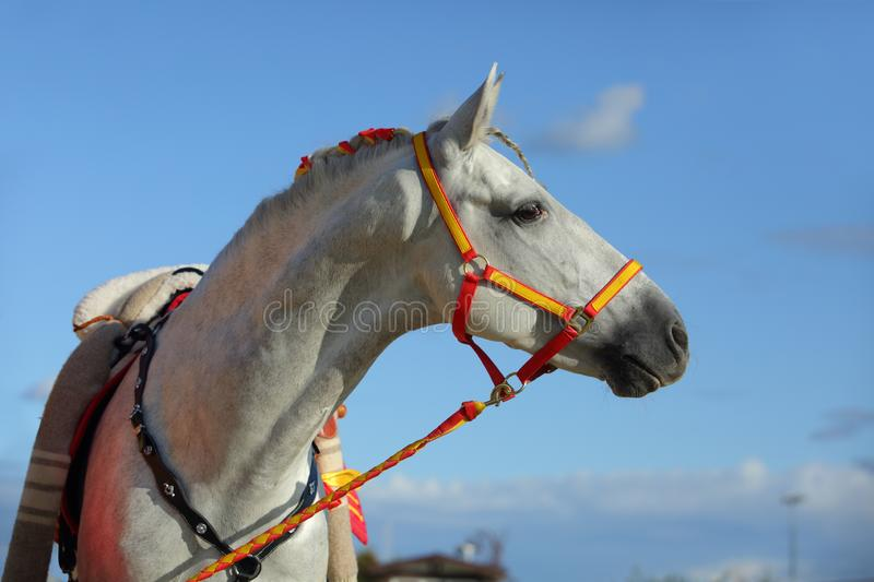 Andalusian horse portrait of stallion royalty free stock images