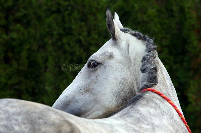 Andalusian horse portrait of stallion stock photos