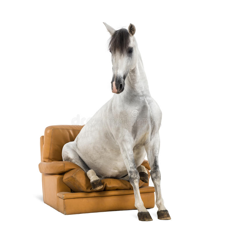Andalusian horse sitting on an armchair royalty free stock photography