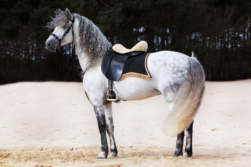 Andalusian horse stock image