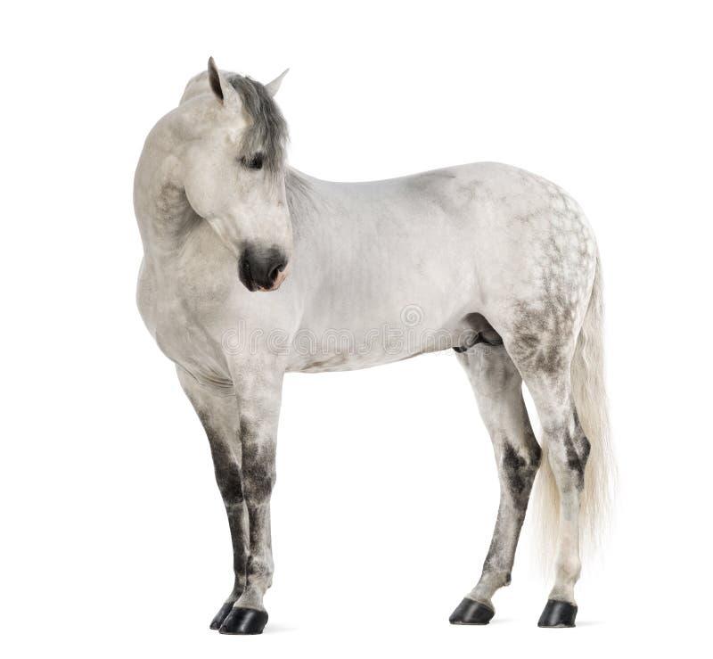 Andalusian masculino, 7 anos velhos, igualmente conhecidos como o cavalo espanhol puro ou PRE, olhando direito foto de stock