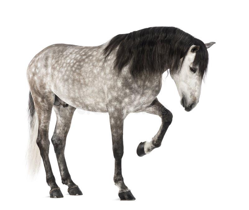 Andalusian que levanta o pé dianteiro, 7 anos velho, igualmente conhecido como o cavalo espanhol puro ou PRE imagem de stock