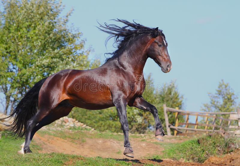 Download Andalusian Stallion Royalty Free Stock Image - Image: 17041676