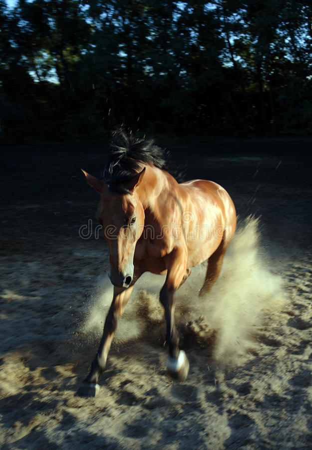 Andalusian stallion galloping across a sand stock photos