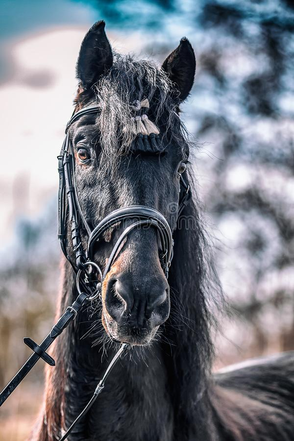 Andalusian stallion.  royalty free stock image