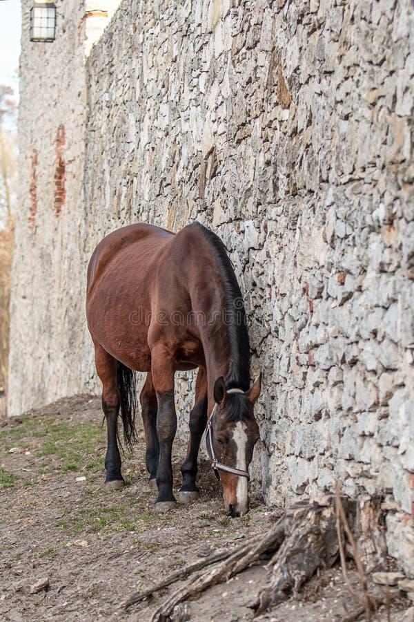 Andalusian stallion. Pura Raza Espanola reproducer stock photo