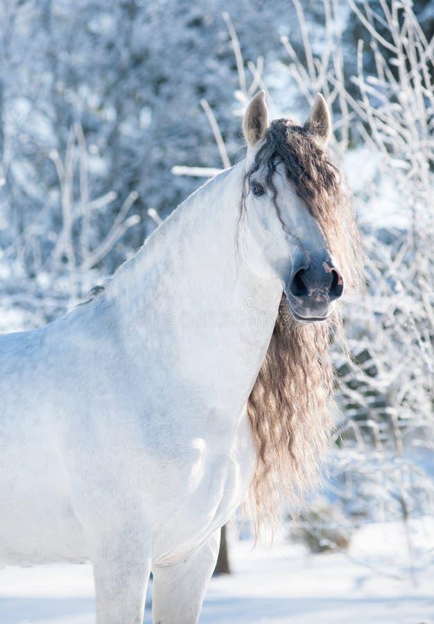 Andalusian vinterstående för vit häst fotografering för bildbyråer
