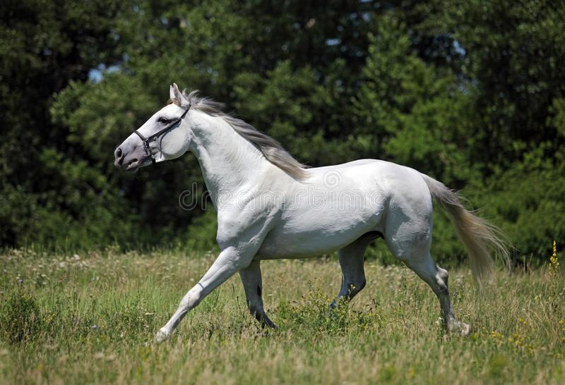 Andalusian white horse portrait galloping on a meadow. Andalusian white horse portrait on a green meadow stock image