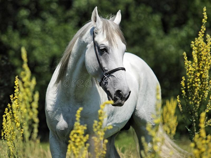 Andalusian white horse portrait galloping on a meadow. Andalusian white horse portrait on a green meadow royalty free stock photos