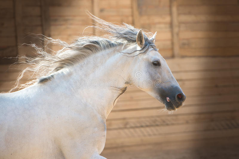 Andalusian white horse portrait in motion stock photography