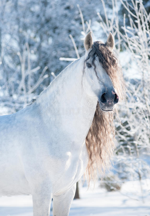 Andalusian white horse winter portrait stock image