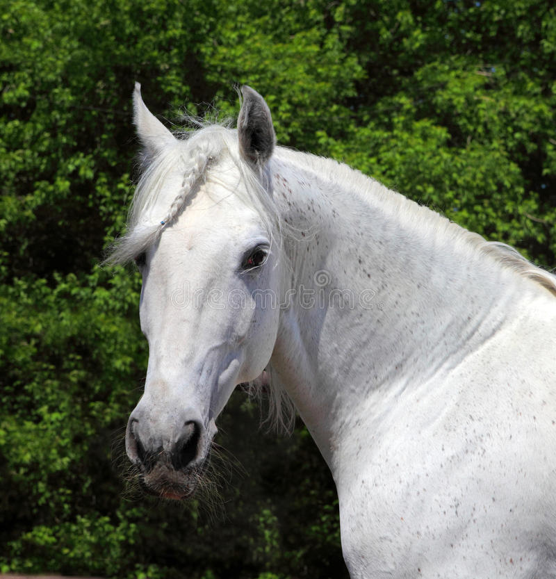 Andalusian white stallion in sunny day royalty free stock photos