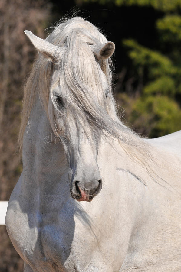 Andalusisches Stallionportrait lizenzfreie stockbilder