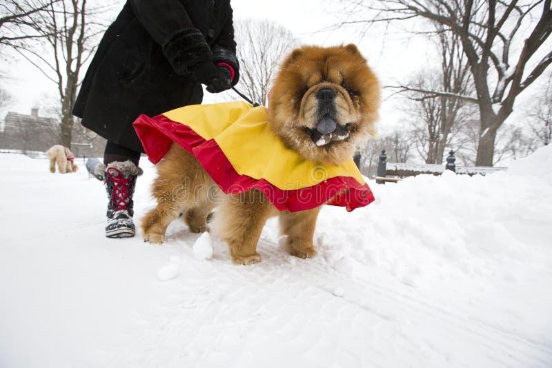 Andando na neve com o cão da comida de comida, Central Park New York fotografia de stock royalty free