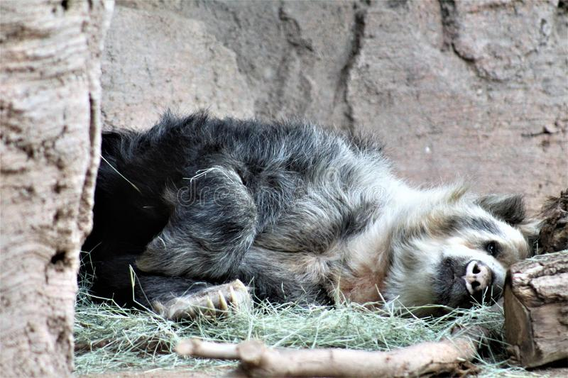 Andean bear laying down at the Phoenix Zoo, in Phoenix, Arizona, United States royalty free stock images