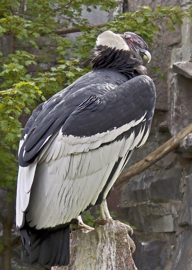 Free Andean Condor 1 Stock Photo - 20447020
