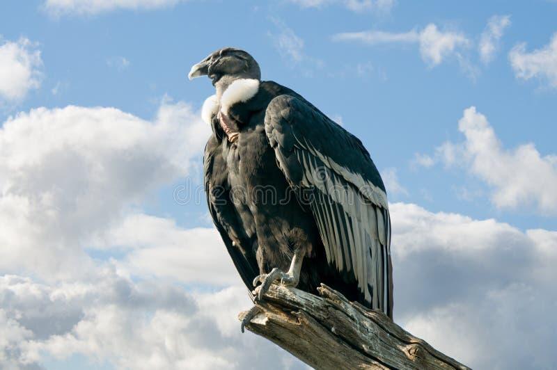 andean condor arkivfoton