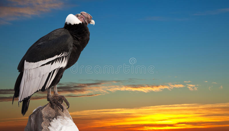 Andean Condor  Against Sunset Sky Background Stock Photography