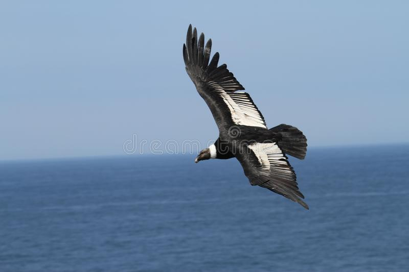 Andean Condor flying over Pacific ocean stock photos