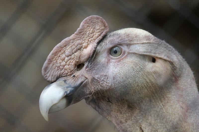 An Andean Condor stock images