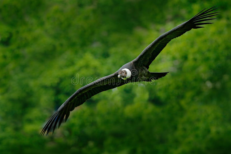 Andean condor, Vultur gryphus, big birds of prey flying above the mountain. Vulture in the stone. Bird in the nature habitat, Peru royalty free stock photos