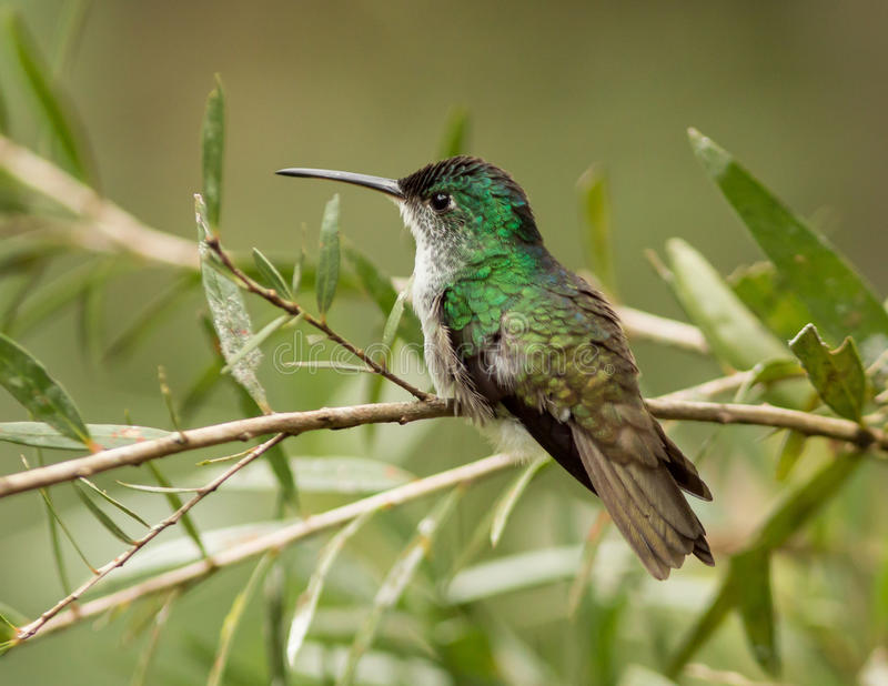 Andean Emerald (Amazilia franciae stock photo