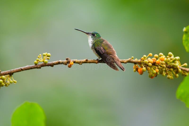 Andean Emerald Hummingbird, man arkivfoto