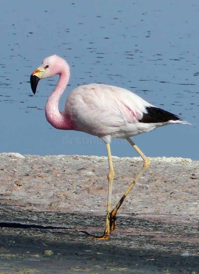 Andean flamingo, Atacama Desert, Chile royalty free stock photo