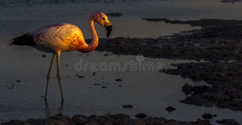 Andean flamingo i Salar de Atacama, Laguna Chaxa, Chile royaltyfri foto