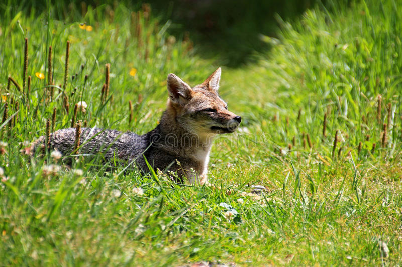 Andean fox, lycalopex culpaeus, also known as zorro culpeo. Carretera Austral, Chile royalty free stock photo