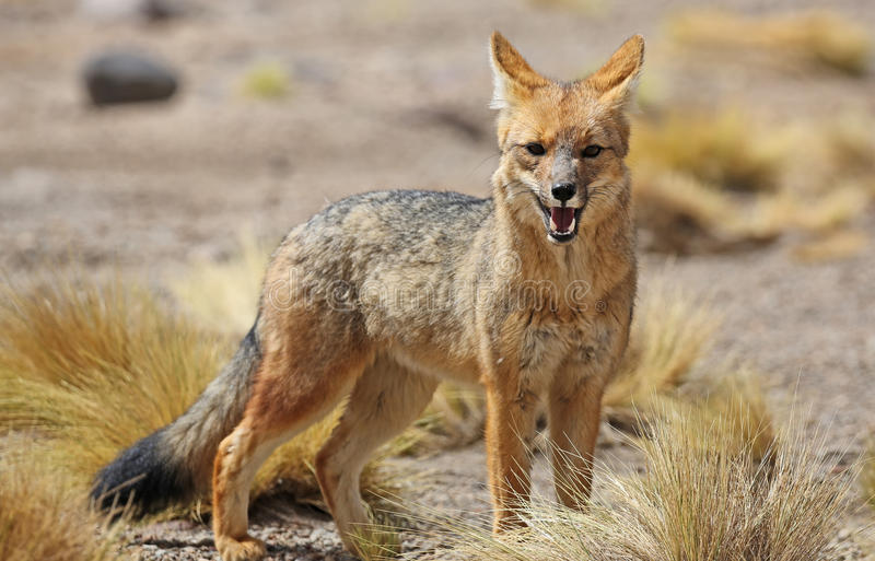 Andean fox in Siloli desert bolivia stock photo