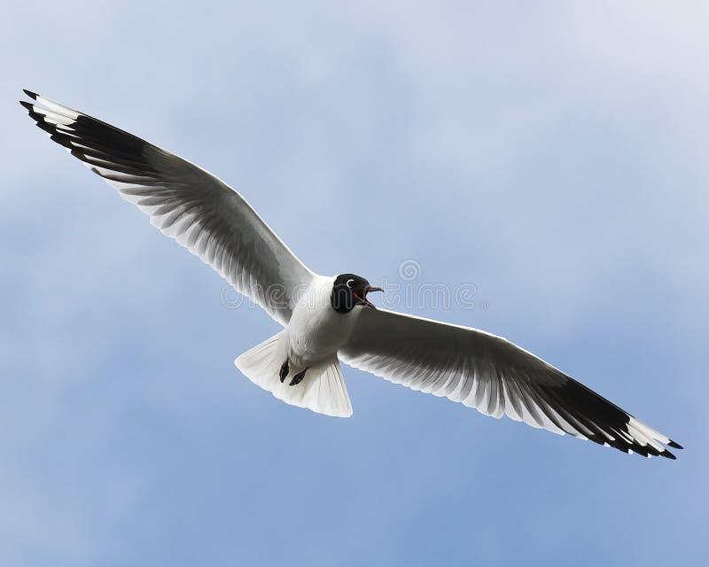 Download Andean Gull stock photo. Image of paramo, gulls, serranus - 10658232
