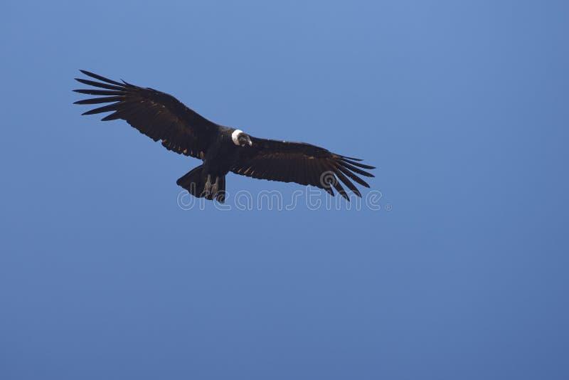 Andean kondor - Chile royaltyfri bild