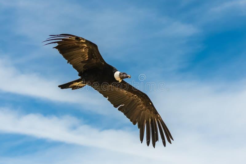 Andean kondor, härlig fågel royaltyfri foto